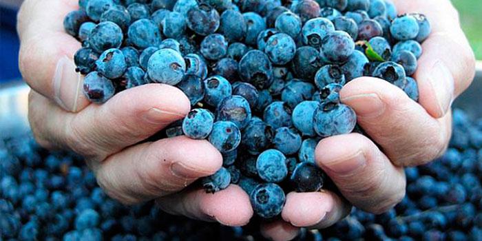 ягоды черники